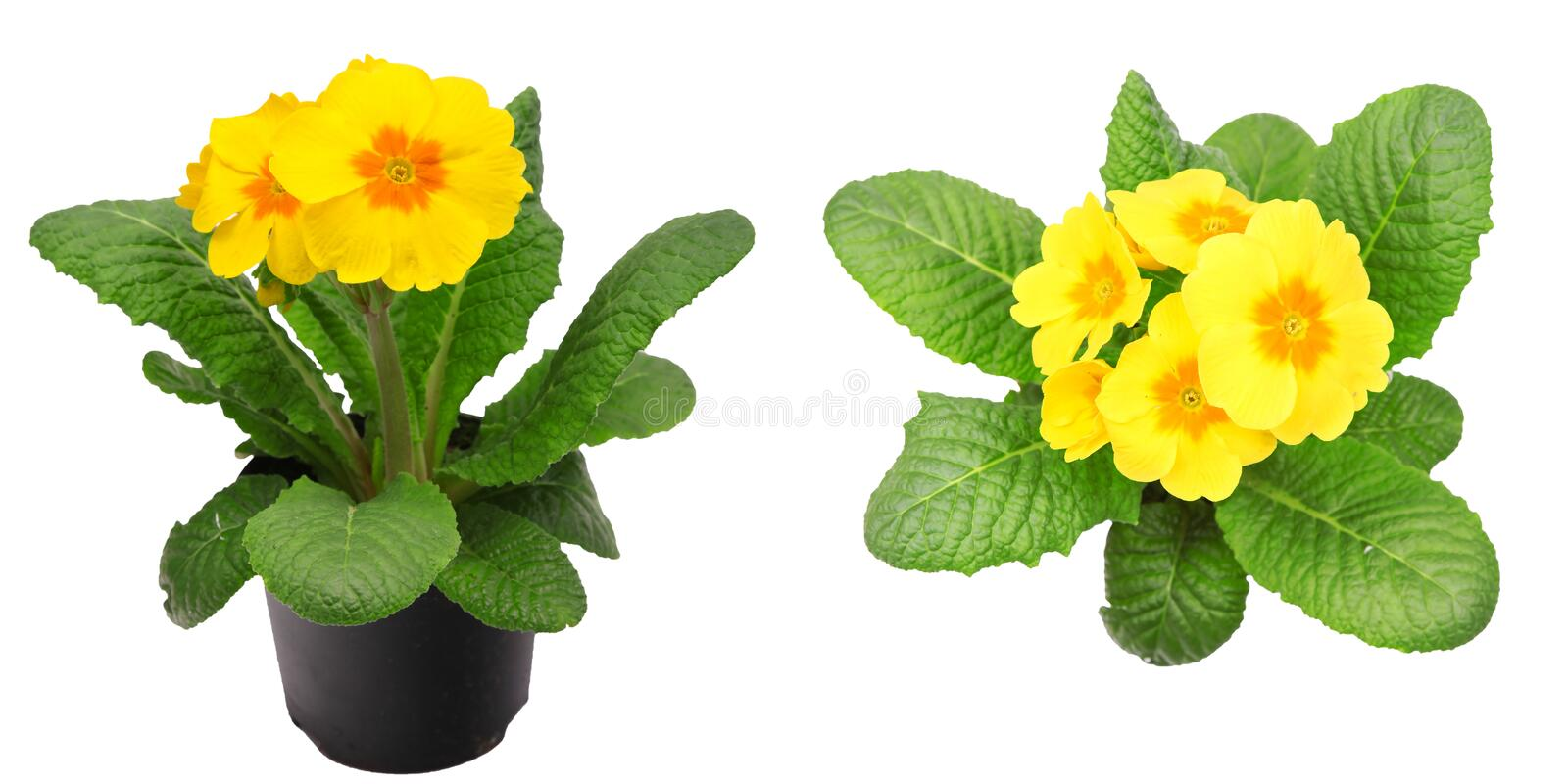 Yellow primrose isolated on white royalty free stock image