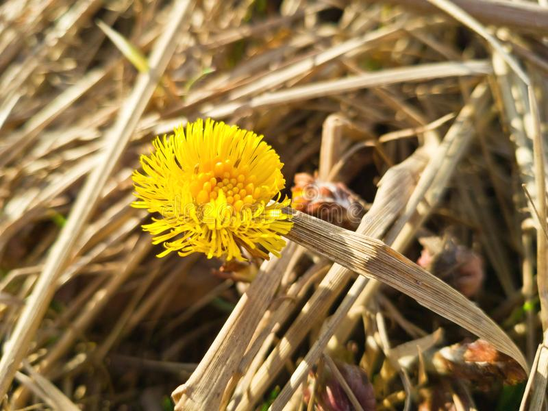 Yellow primrose Tussilago against the background of last year`s dead grass. Bright flower head on a Sunny day royalty free stock photography