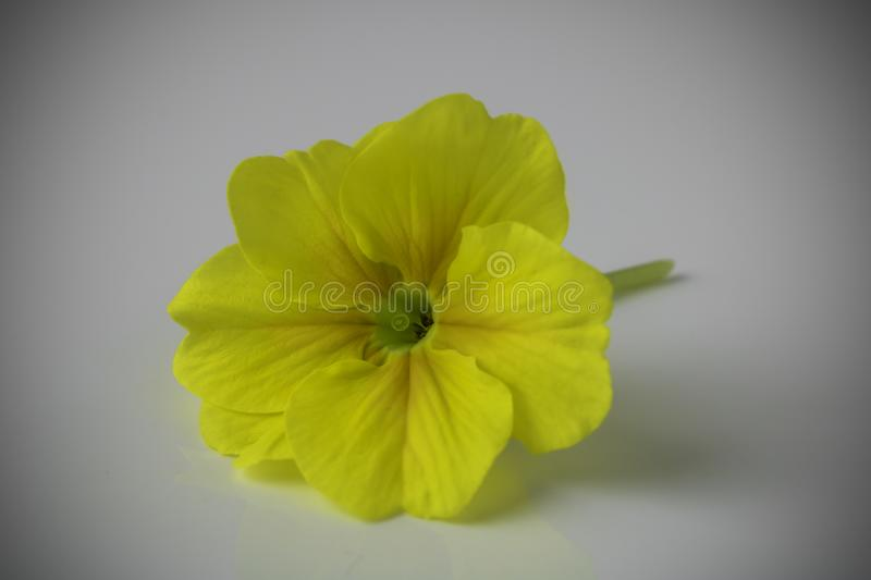 Yellow primrose on a white background, stock images