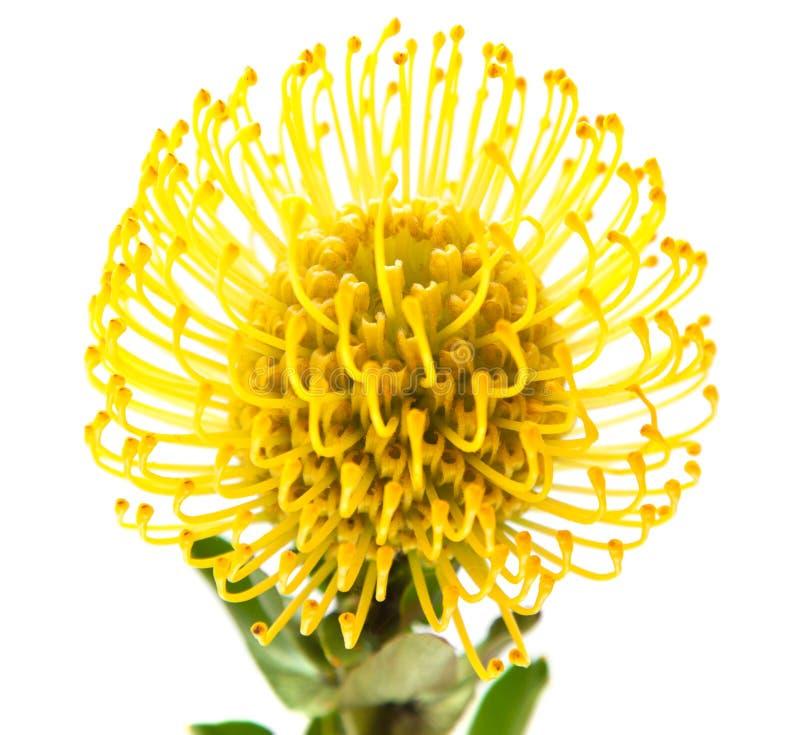 Free Yellow Protea Royalty Free Stock Photo - 30684435