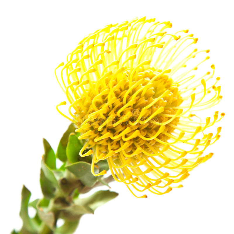 Free Yellow Protea Stock Images - 30684484