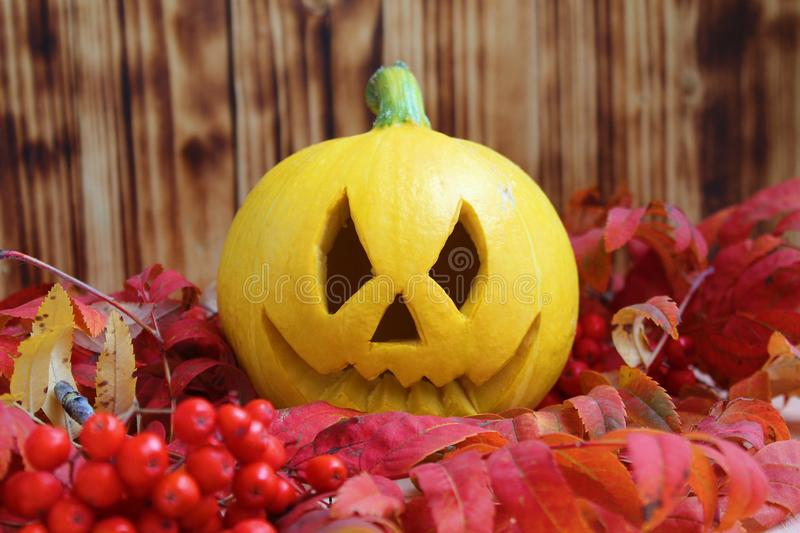 Yellow pumpkin for halloween in autumn bright leaves. Dry, rowan, space, foliage, berries, background, pumpkin, autumn, black, leaves, orange, red, october royalty free stock photo