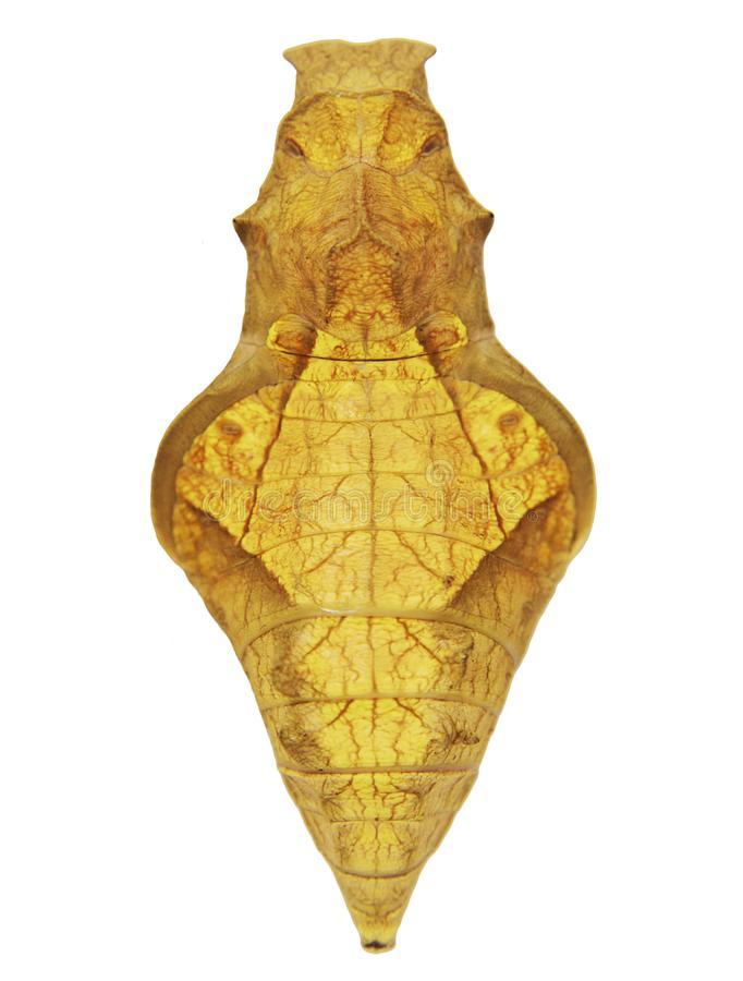 A yellow pupa of a golden birdwing, or Rhadamantus birdwing butterfly isolated on white background royalty free stock image