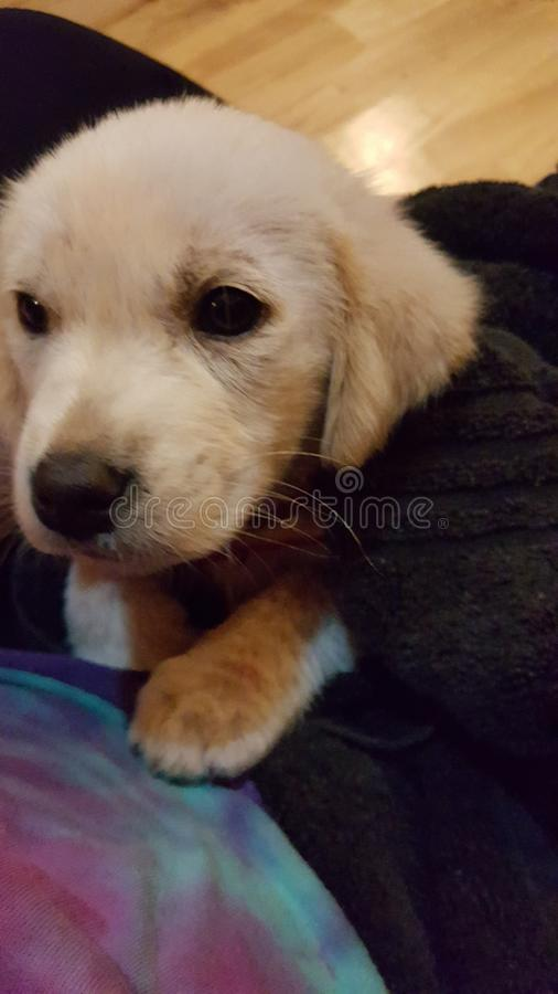 Yellow puppy stock photography