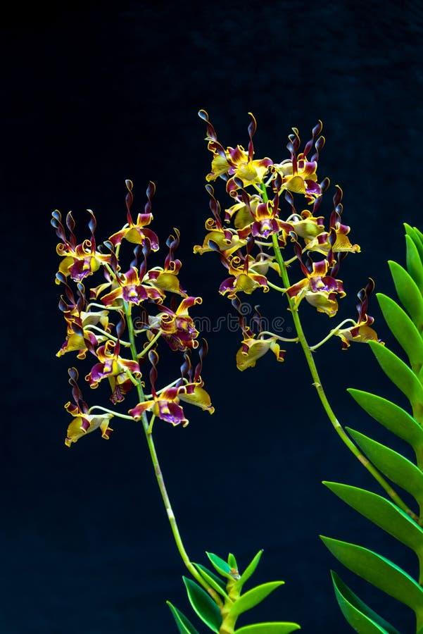 Yellow Purple Antelope Dendrobium Orchid Kwan Sam Hor, Dendrobium sp , Family Orchidaceae vacker blomma arkivfoto