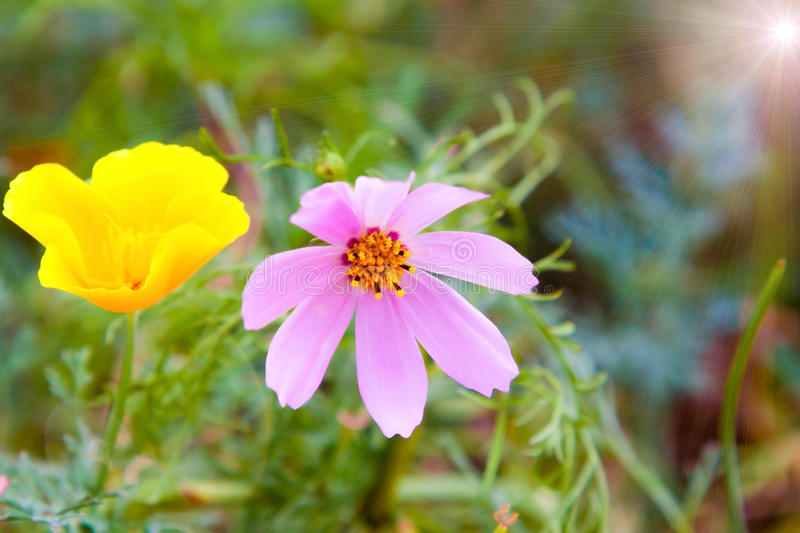 Yellow and purple close up, two flowers under summer bright sunlight stock image
