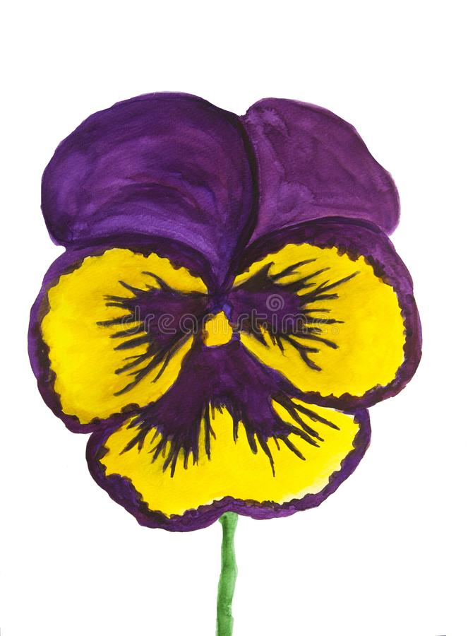 Yellow and purple colours pansy on white background stock illustration