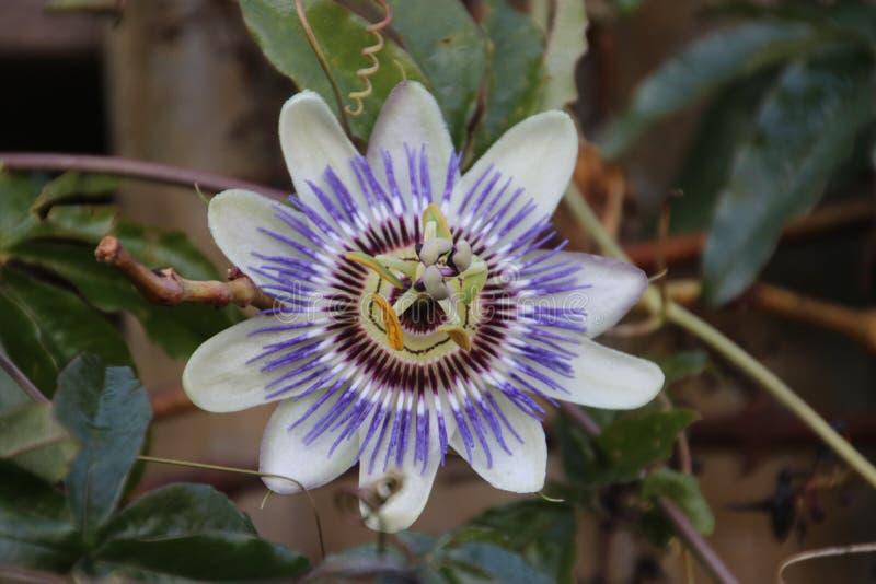 Yellow purple flower head of the passion flower or passiflora in Nieuwerkerk aan den IJssel in the Netherlands. stock image