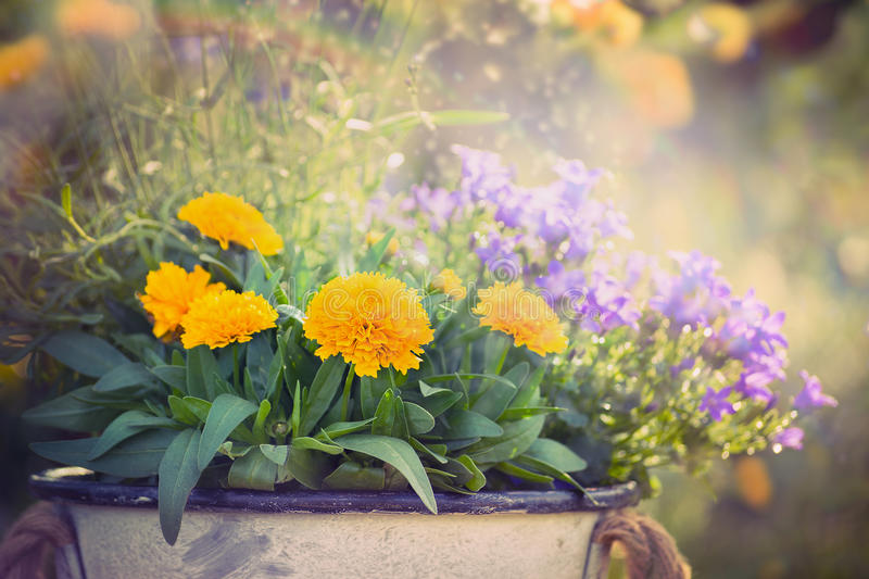 Yellow and purple garden flowers bunch on summer or autumn nature background. Close up stock photography