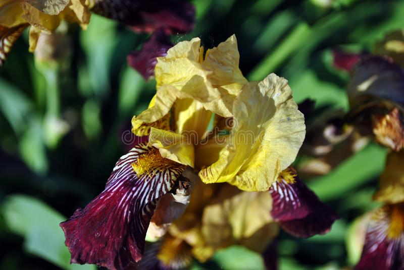 Yellow and purple iris flower blooming, blurry green leaves horizontal background. Top view royalty free stock photography