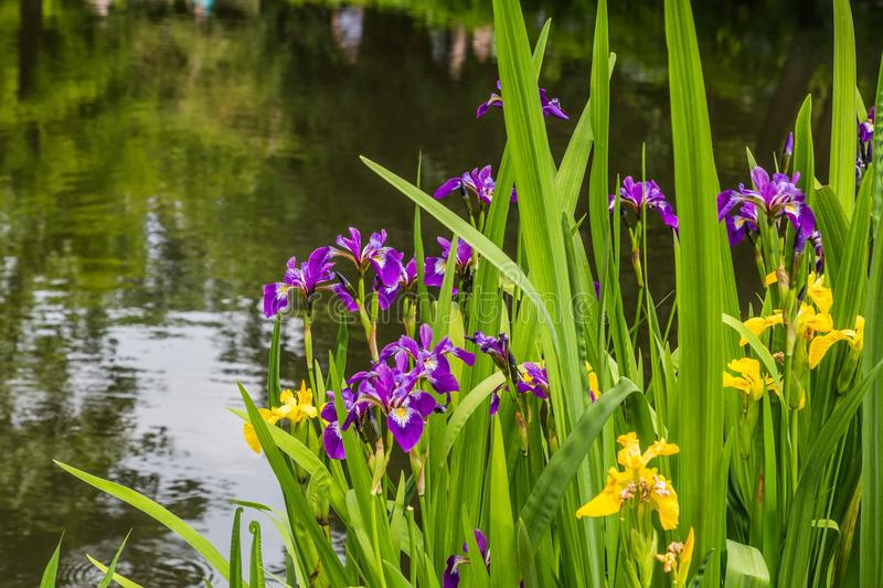 Yellow and purple iris on the water front. Of a pond stock photos