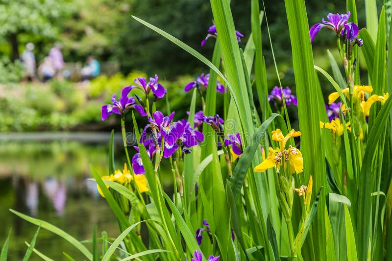 Yellow and purple iris on the water front. Of a pond royalty free stock images