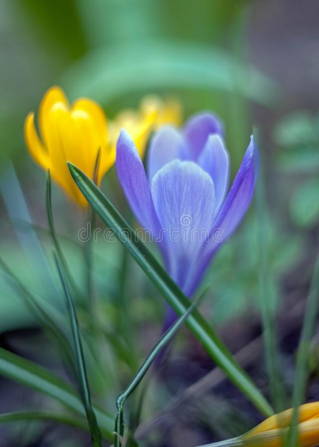 Yellow and Purple snowdrop flower crocus in spring with leaves and blurred background stock photos