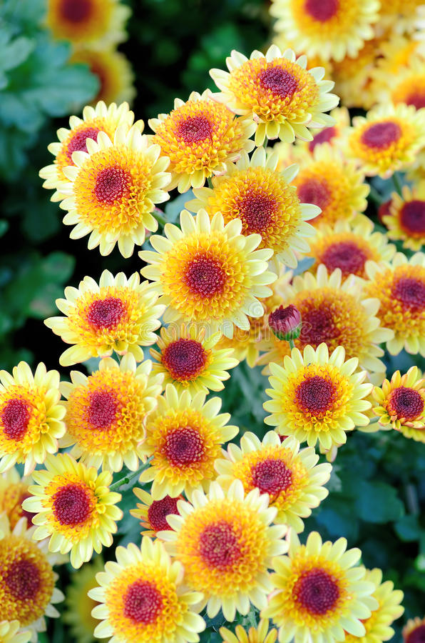 Yellow and Purple Spray Chrysanthemum. Photograph was taken in Japan in winter stock photos
