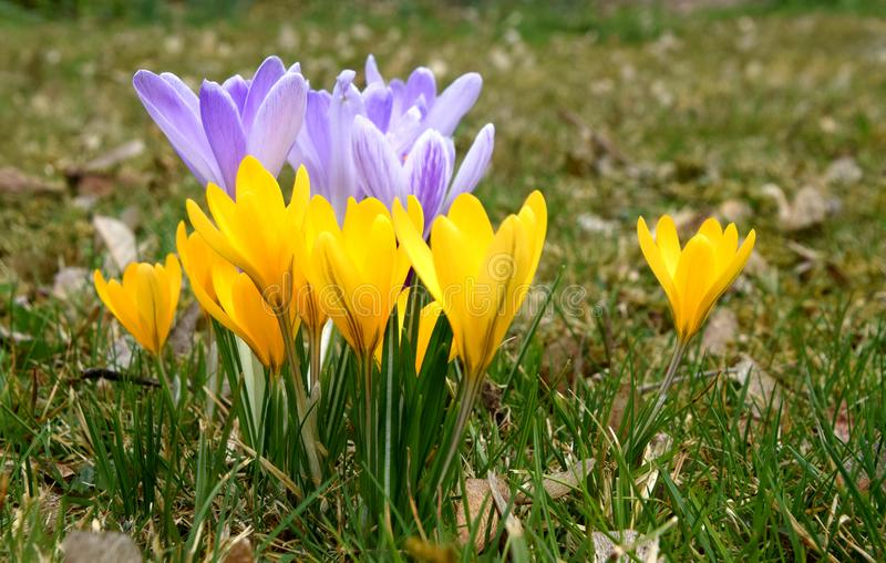 Yellow and Purple Spring crocuses royalty free stock photo