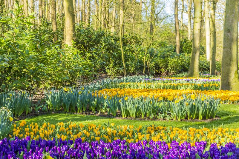 Yellow and purple tulips among the trees in a park. Wonderful and sunny day in Lisse the Netherlands Holland royalty free stock image