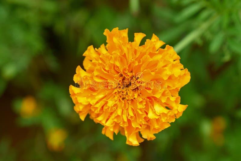 Yellow Radians royalty free stock image