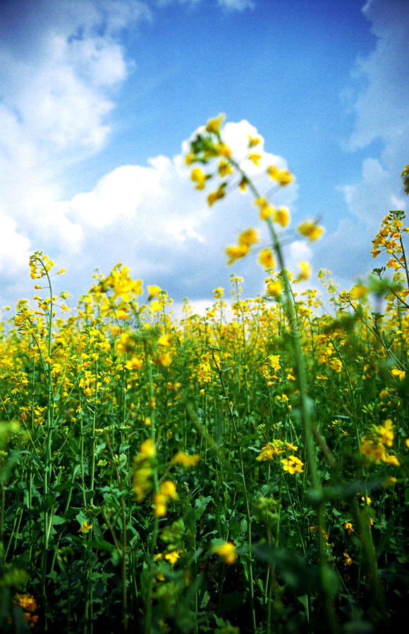 Download Yellow field stock image. Image of cloudy, field, relaxing - 1409967