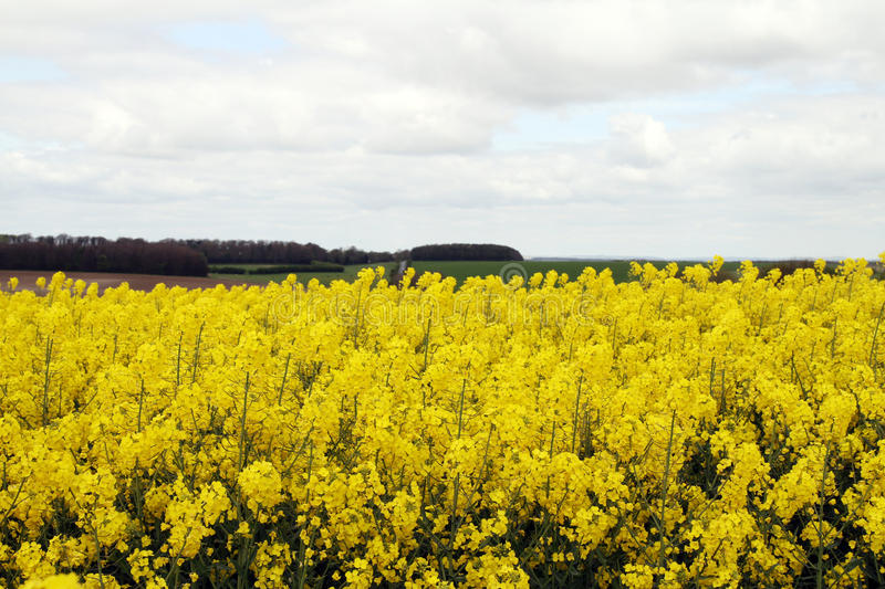 Yellow field on Salisbury Plain. Light cloud with wood and field in the distance royalty free stock photography