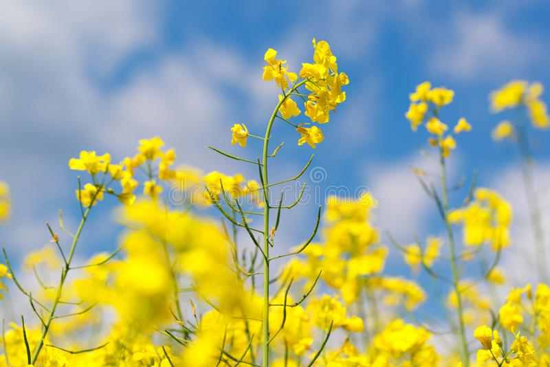 Yellow rape flowers in field with blue sky and clouds royalty free stock photos