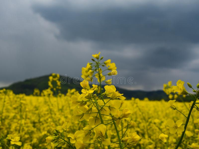 Yellow rape seed oil field country. Czech countryside yellow rape field agriculture planting rural rapeseed scenery harvest rapeoil royalty free stock photos