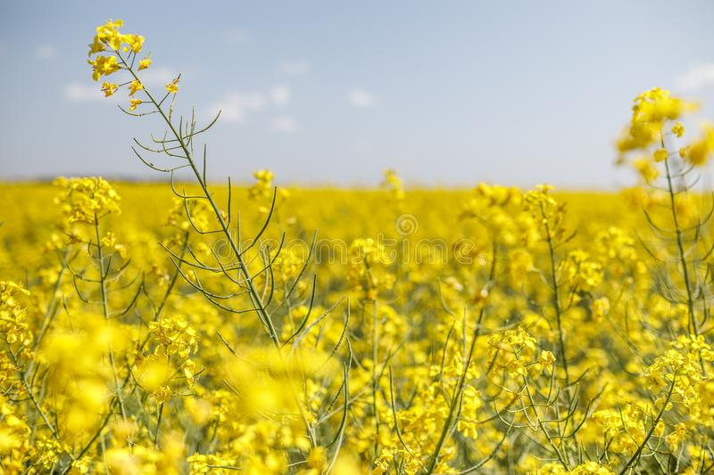 Rapeseed, rapeseed field, field with rape, blossoming field. Yellow Rapeseed field background. Field of bright yellow rapeseed in spring. Rapeseed, Brassica royalty free stock images