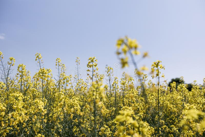 Rapeseed, rapeseed field, field with rape, blossoming field. Yellow Rapeseed field background. Field of bright yellow rapeseed in spring. Rapeseed, Brassica royalty free stock photos