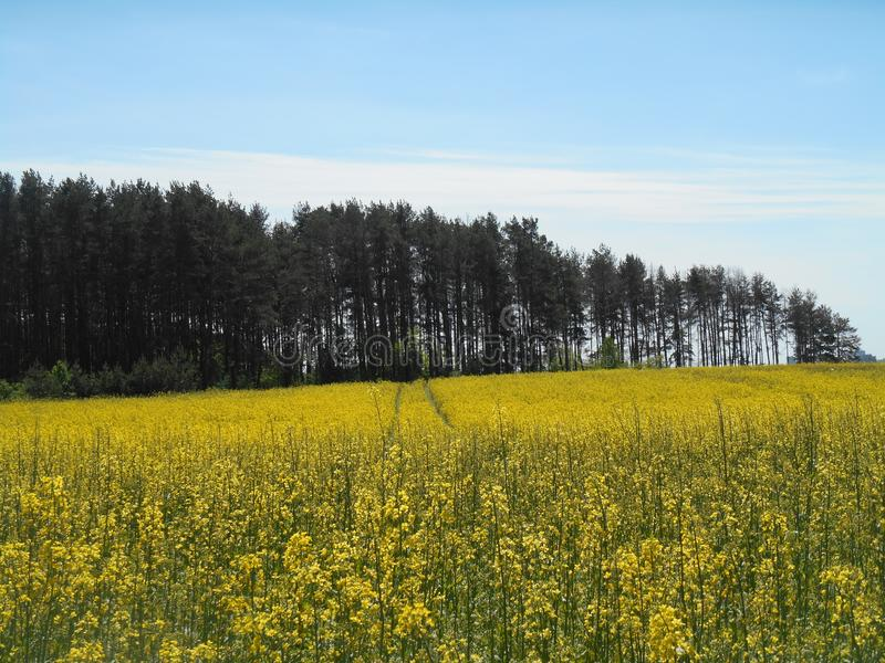Yellow flowers rapeseed field and forest spring landscape blue sky solar background royalty free stock image