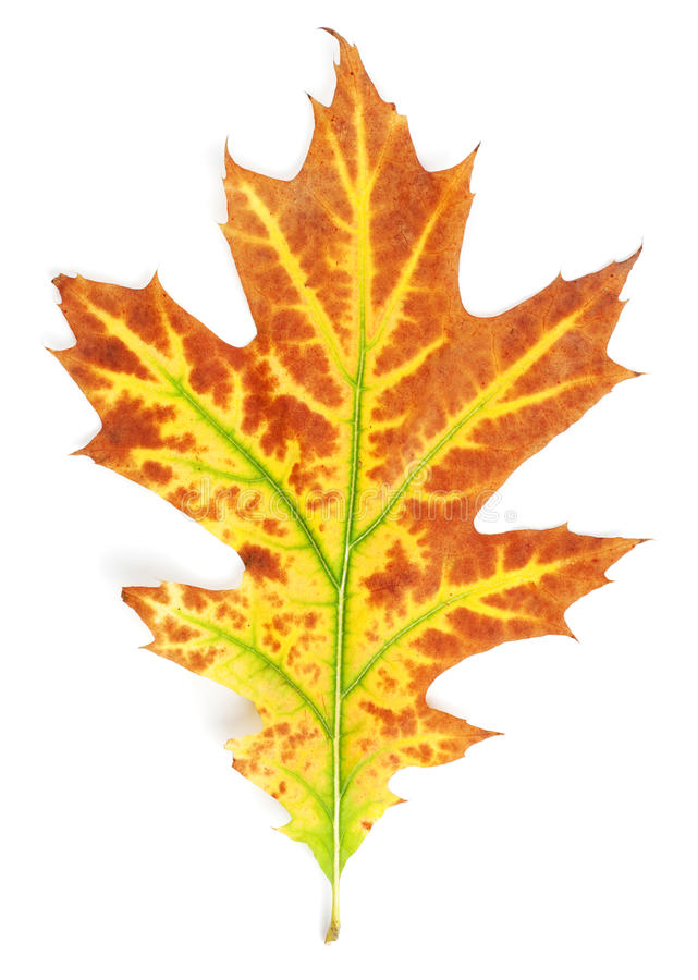 Download Yellow-red autumn leaf stock image. Image of natural - 16554725