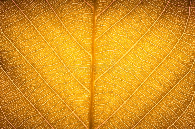 Yellow red autumn leaf macro texture high detail texture for nature background. Of leaves vein royalty free stock photography