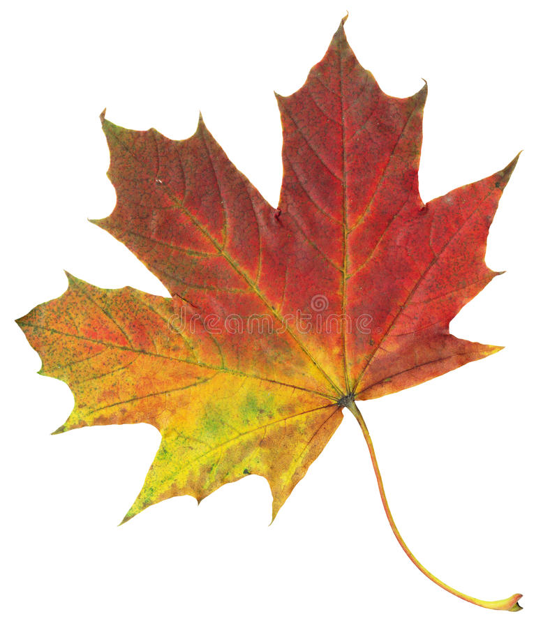 Yellow and red autumn maple leaf isolated on white background stock images