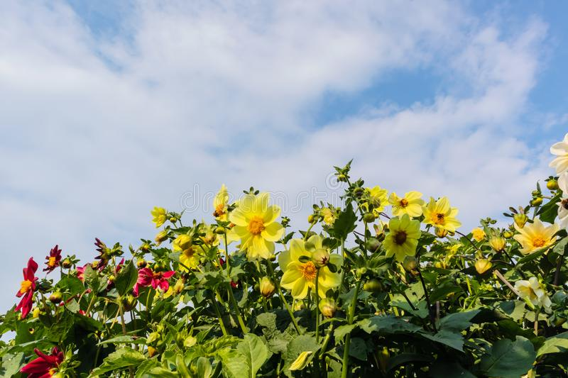 Yellow and red blooming dahlias against the blue sky. royalty free stock images