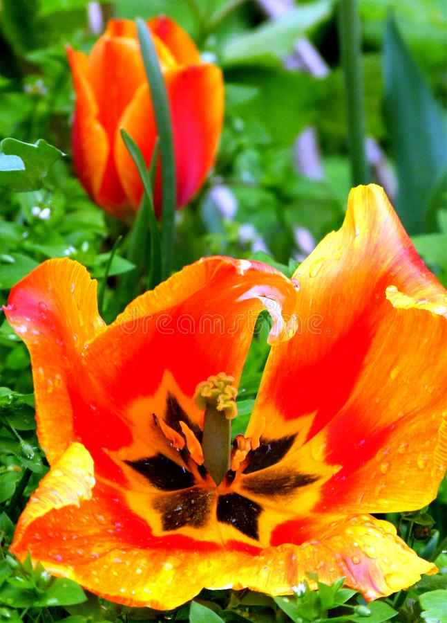 Yellow-red blooming tulip with a slightly blurred tulip in the background royalty free stock images