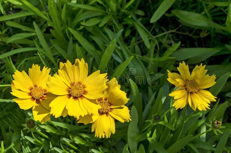Yellow with red core Coreopsis or Tickseed flower blooming in a garden, district Drujba royalty free stock images