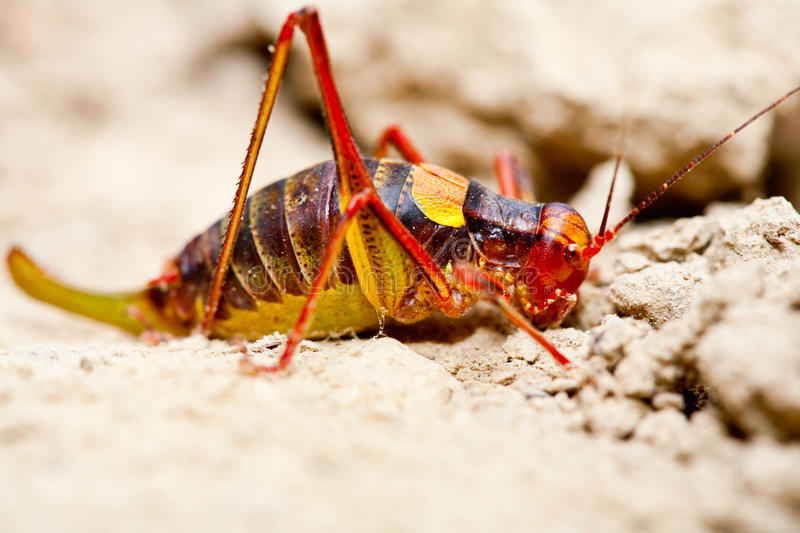 Yellow and red cricket stock images