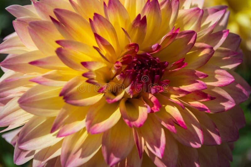Yellow Red dahlia stock image