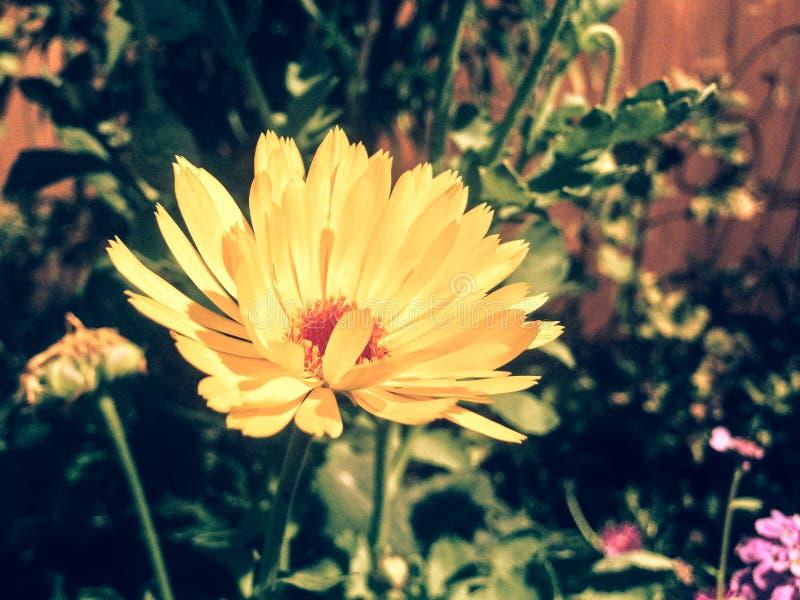 Yellow-red Daisy Free Public Domain Cc0 Image