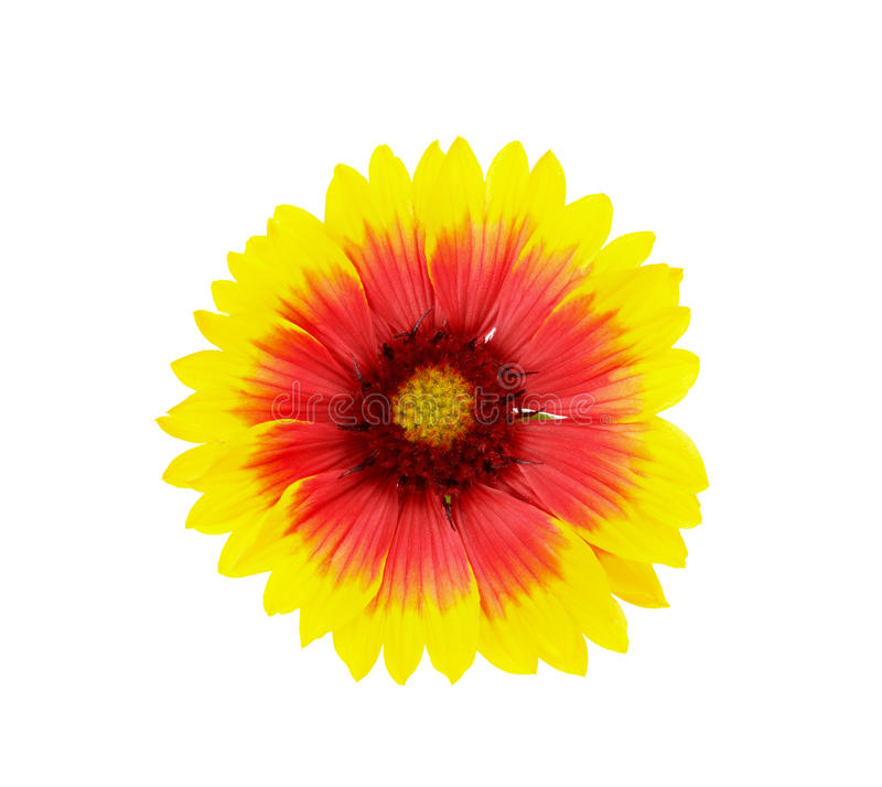 Yellow and red daisy flower isolated. On white background stock photos