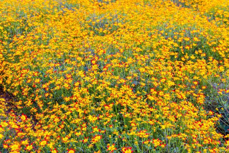 Yellow-red daisy flowers, summer flower garden background. Selective focus, shallow dof stock photo