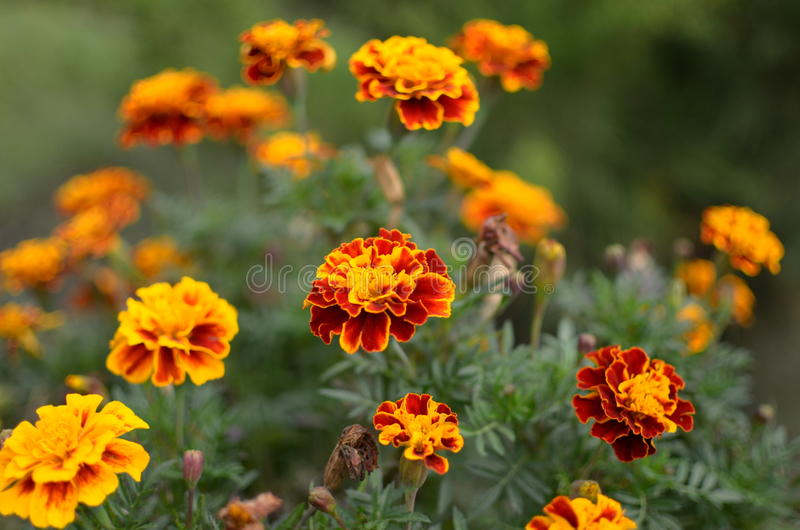 Yellow and red flowers Marigolds royalty free stock photos