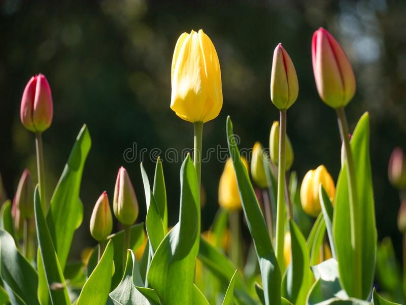 yellow and red flowers tulip lit by sunlight. Soft selective focus, close up stock photography
