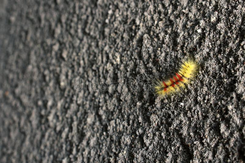 Yellow and red furry caterpillar on gray rough textured concrete wall background royalty free stock photos