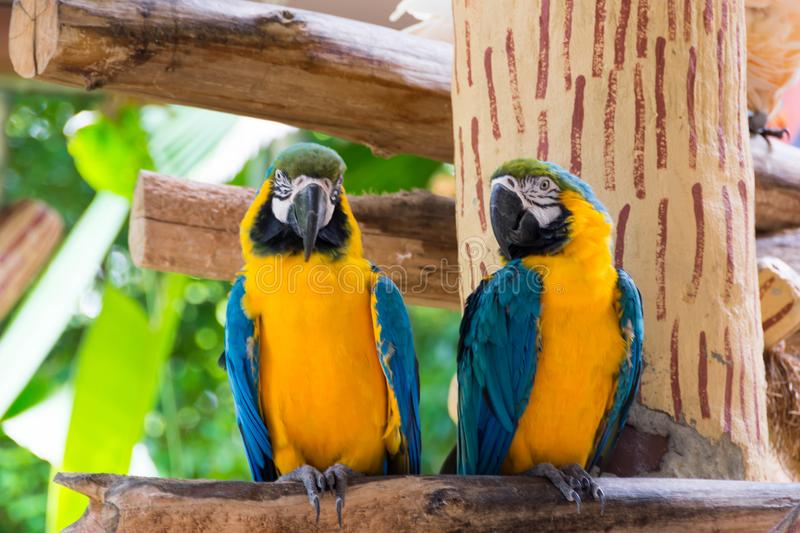 Yellow red and green parrot or macaw in a park. During day stock images