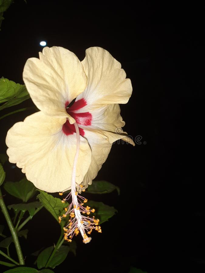 Yellow & Red Hibiscus royalty free stock photography