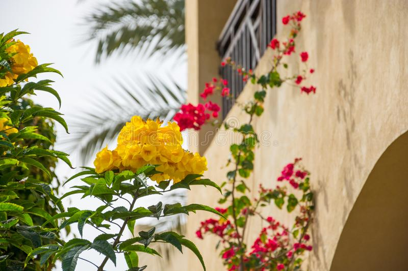 Yellow and Red Hibiscus Flowers in front of a balcony. And palm trees stock photos