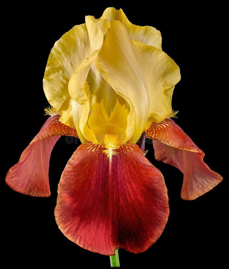 Free Yellow-red Isolated Iris Stock Photography - 168821832