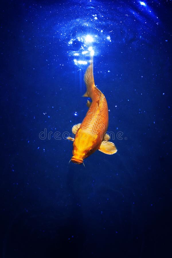 Yellow and red japanese koi carp swims in pond close up, exotic goldfish on dark blue shiny water background stock images