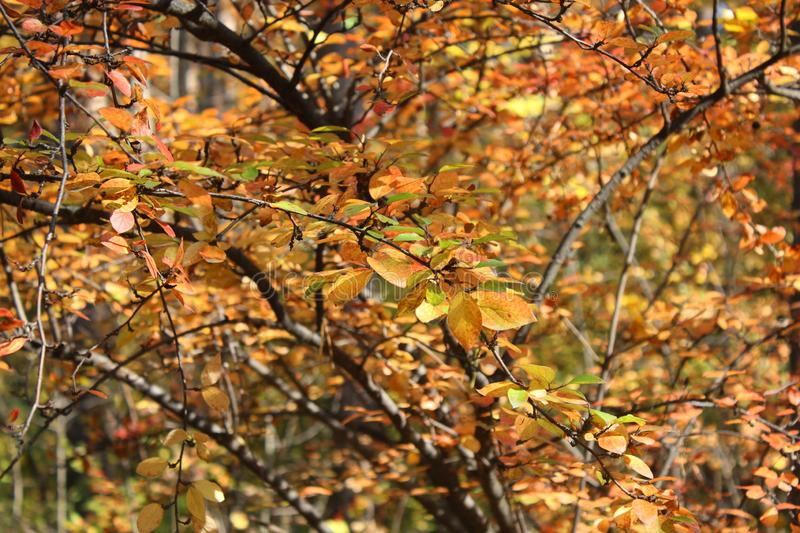 Yellow-red leaves. Autumn beautiful tree. Golden autumn season stock photo