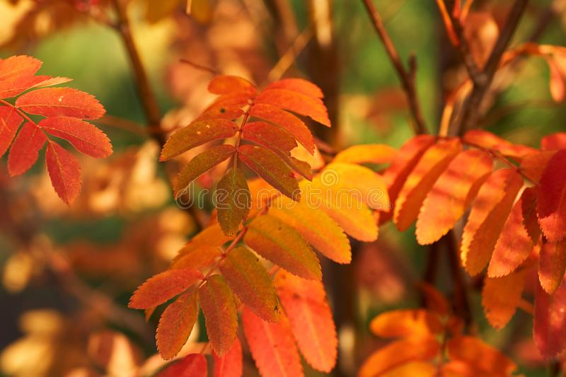 Yellow red leaves of mountain ash in the sunset. Nature background. Red-yellow leaves of mountain ash at sunset. Nature background royalty free stock photography