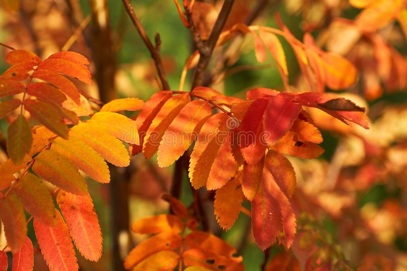 Yellow red leaves of mountain ash in the sunset. Nature background. Red-yellow leaves of mountain ash at sunset. Nature background stock images